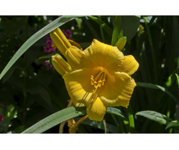 Hemerocallis 'Stella d´Or'