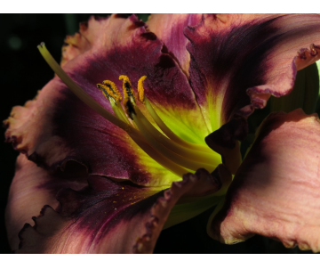 Hemerocallis ´Macbeth´