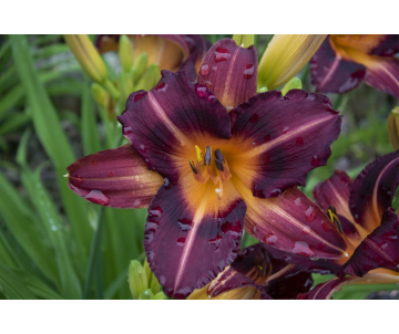 Hemerocallis ´Unchartered...