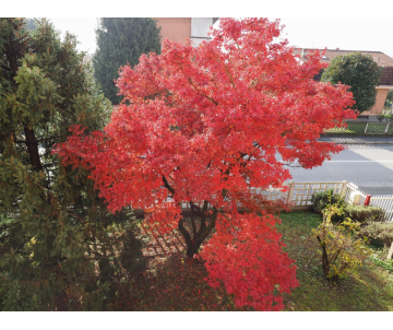 Acer rubrum (Erable rouge)