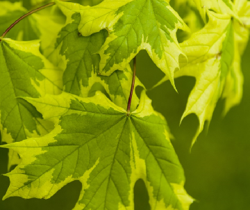Acer platanoides...