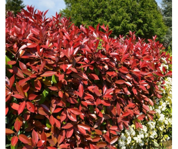 Photinia X fraserii 'Red...