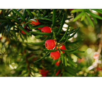 Taxus baccata (If commun)