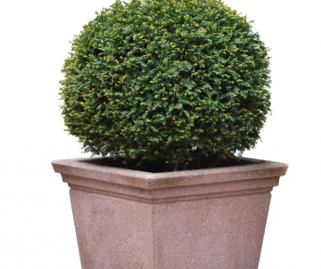 Taxus baccata (If commun)...