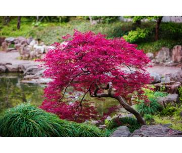 Acer palmatum (Erable du...