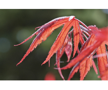 Acer dissectum 'Inaba...