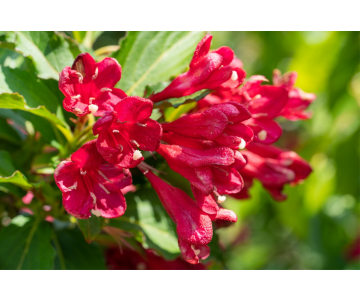 Weigela florida 'Bristol Ruby'