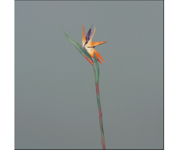 Strelitzia / 80 cm / Orange
