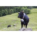 Vaches d'Hérens